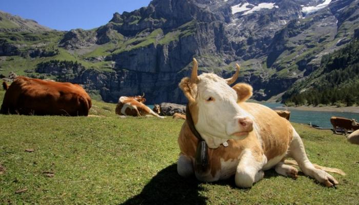 Welt: в Швейцарии коров перестанут держать в старых стойлах