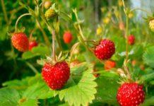 Особенности садовой земляники