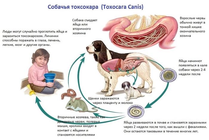 Токсокароз