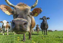 А что, если кормить коров не сеном, а водорослями?