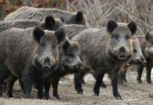 Африканская чума свиней обнаружена в Бельгии и подступает к границам