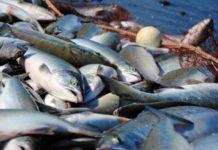 Депутаты вступили в битву за рыбные квоты
