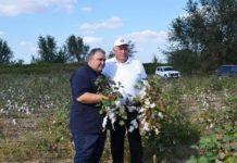 Экспериментальный урожай хлопчатника соберут в Дагестане