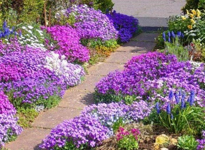 Как ухаживать в саду обриетой