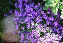 Как ухаживать за многолетней обриетой после цветения