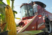Калининградская область занимает первое место в России по урожайности кукурузы