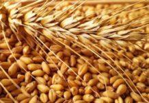 Кубанские аграрии получили в 2018 году 75,5 млн рублей на приобретение элитных семян