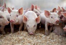 Минсельхоз: из-заАЧСвКалининградской области стоит вопрос осохранении свиноводства