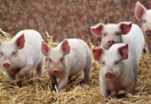 На Кубани выявлен очаг африканской чумы свиней