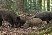 Невыездные свиньи