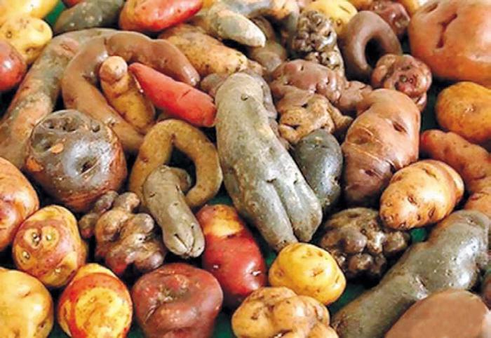 Новый мексиканский сорт картофеля Citlali показывает устойчивость к фитофторозу и заболеванию Зебра-чип