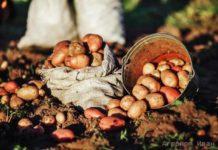 Отбор картофеля на семена - секреты агронома