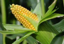 Почти во всех районах Брянской области выявлен стеблевой кукурузный мотылек, заражена четвертая часть посевов кукурузы