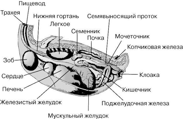 Raspolozhenie-zoba-utki