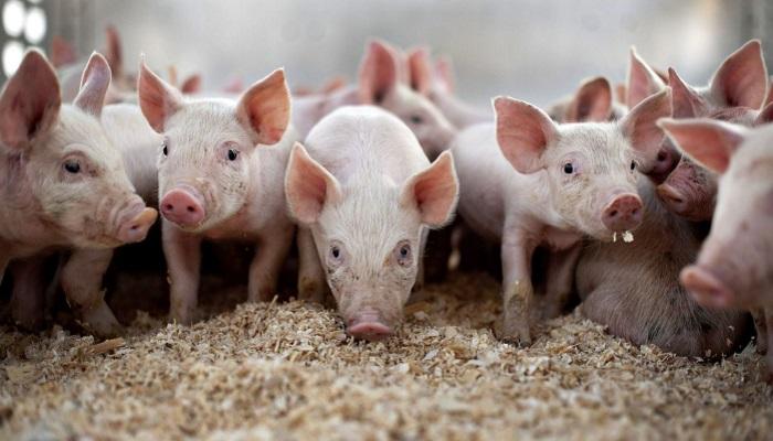 Режим ЧС введен в Воловском районе Липецкой области, где выявлен очаг африканской чумы свиней