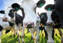 Рогатое достояние: как Подмосковье идет к цели в 1 млн т молока