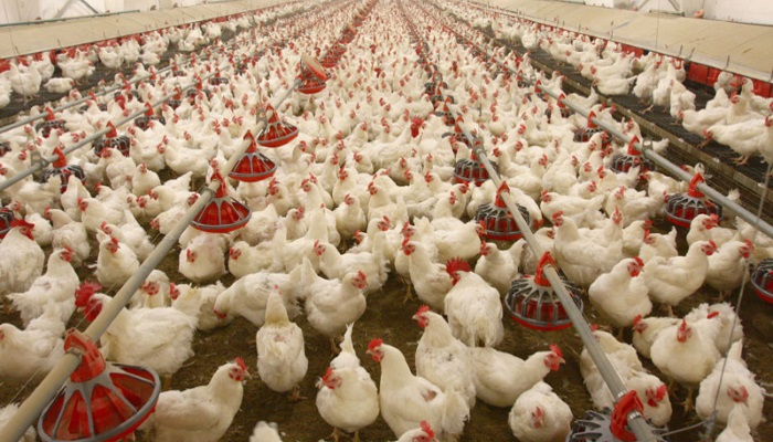 Рост птицеводства замедлится в 3,5 раза