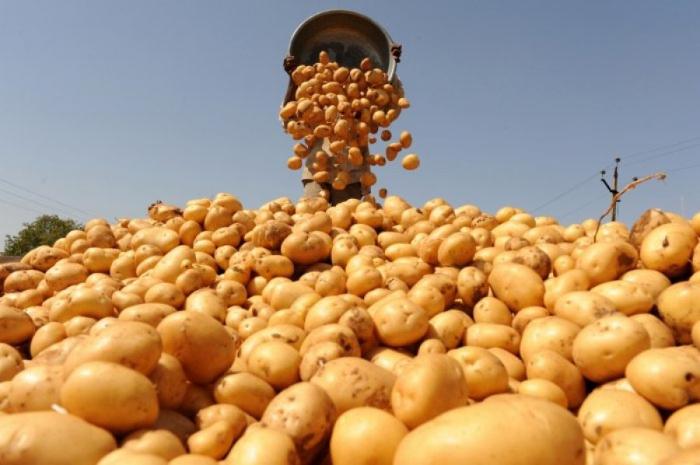 Уникальные разработки студентов УрГАУ помогли собрать небывалый урожай картофеля
