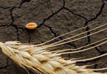 Урожай зерновых более чем на 1 млрд рублей погиб в Оренбургской области из-за засухи