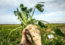 Урожайность сахарной свеклы пока отстает от результатов прошлого года