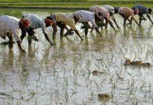 В Индии ожидается большой урожай