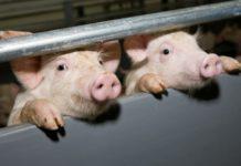 В Молдове разрастается эпидемия африканской чумы свиней