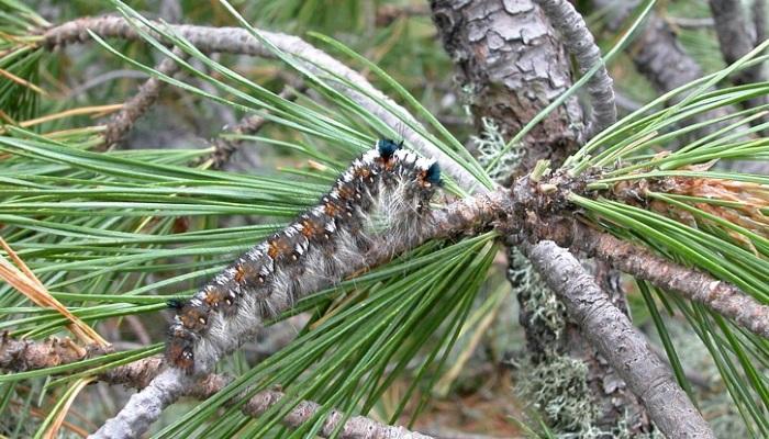 В Омской области обнаружены новые очаги опасного насекомого-вредителя