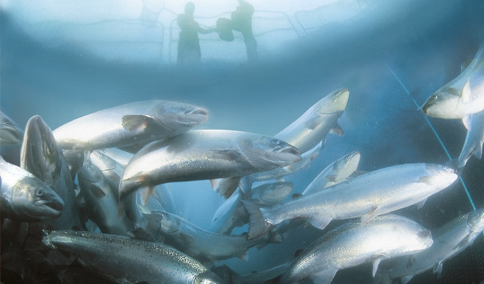 В Пензенской области планируют реализовать эко-проект по выращиванию атлантического лосося