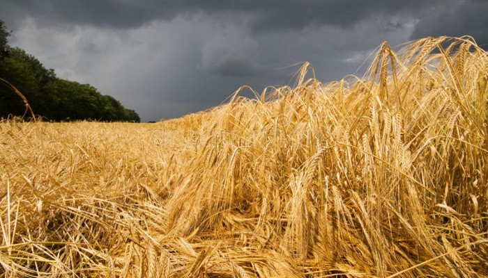 В девяти районах Омской области объявят ЧС по урожаю