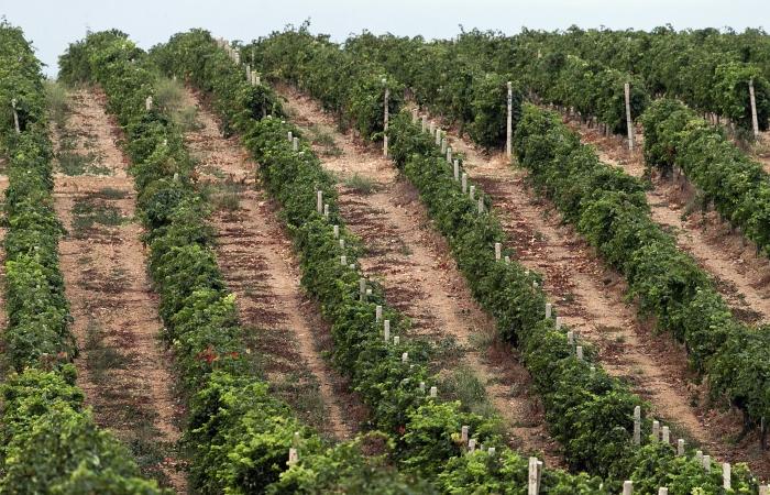 Власти Дагестана планируют разработать спецпрограмму по поддержке виноградарства в регионе