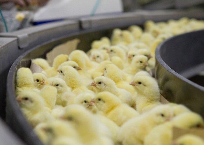 В Ростовской области из-за птичьего гриппа банкротятся производители курицы