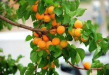 Абрикос — солнечный фрукт