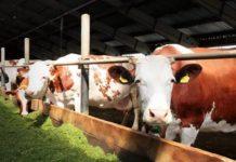 Американец построит в России молочные фермы на 9 тысяч голов