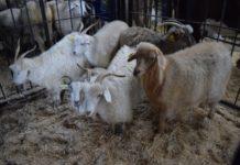 Baikal Agro Farm – главная выставка племенного животноводства Бурятии
