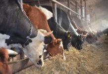 До 45% коров в Новосибирской области являются переносчиками вируса лейкоза