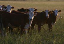 Господдержка позволяет развивать молочное животноводство в Челябинской области