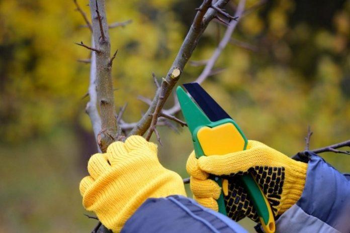 Какие плодовые растения нужно обрезать осенью