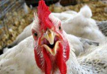 Казахстан продлил запрет на ввоз куриного мяса из России из-за новых вспышек птичьего гриппа