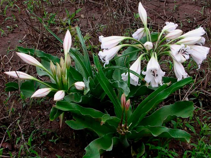 Кринум Макована (Crinum macowanii)