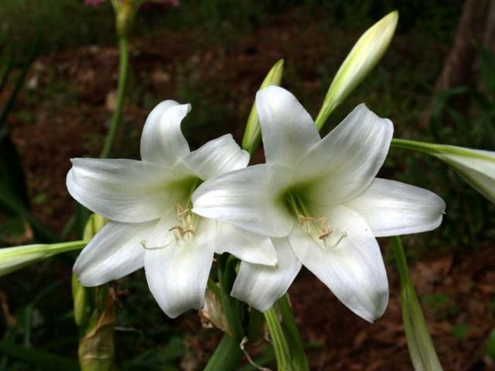 Кринум абиссинский (Crinum abyssinicum)