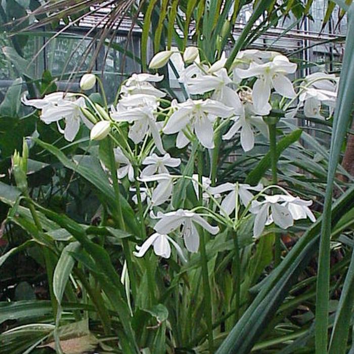 Кринум большой (Crinum giganteum)