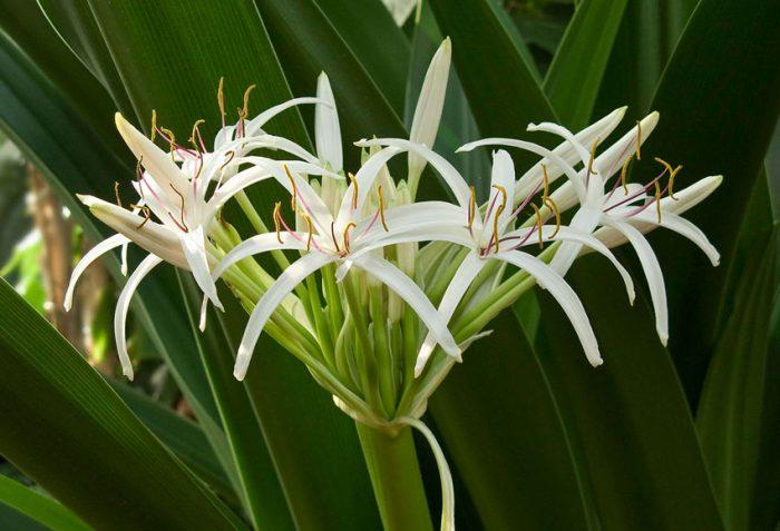 Кринум цветоносный (Crinum pedunculatum)