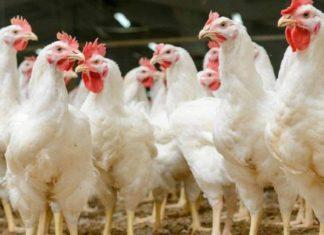 Мировая торговля птицей требует новых рыночных стратегий