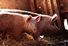 Названа причина вспышки АЧС в агрофирмее «Ливенское мясо»