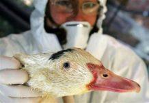 Новый подтип вируса птичьего гриппа уничтожает уток в Китае