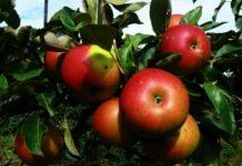 Отечественный сорт яблони в ходе исследований обошел зарубежные аналоги