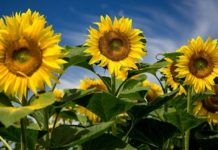 Райские кущи: как органика спасает урожай