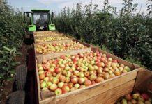 Рекордный урожай яблок собрали на Ставрополье