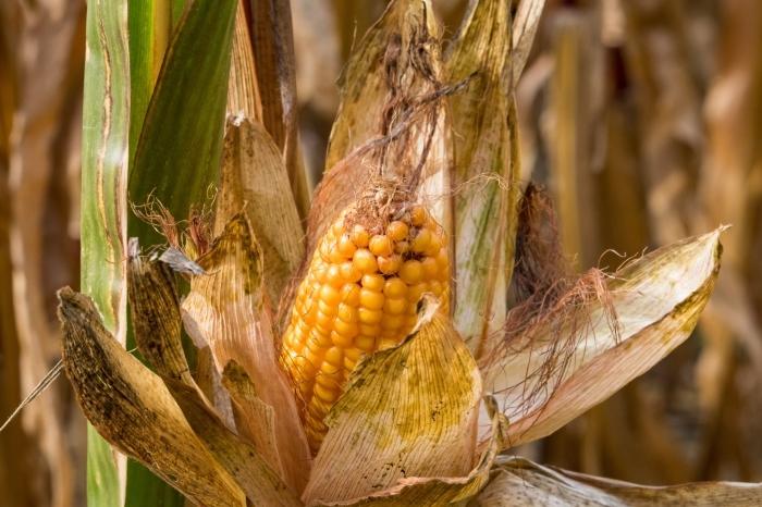 Рекордный урожай кукурузы ожидается в Северной Осетии