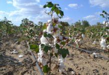 Собранный в Дагестане урожай хлопчатника превзошел все ожидания